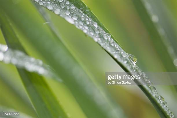daffodil leaf with droplets at high resolution showing extreme detail - chlorophyll stock pictures, royalty-free photos & images