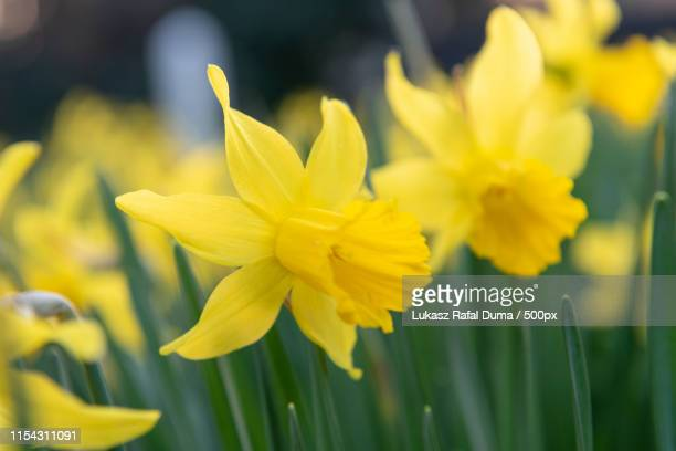 daffodil - letchworth garden city stock photos and pictures