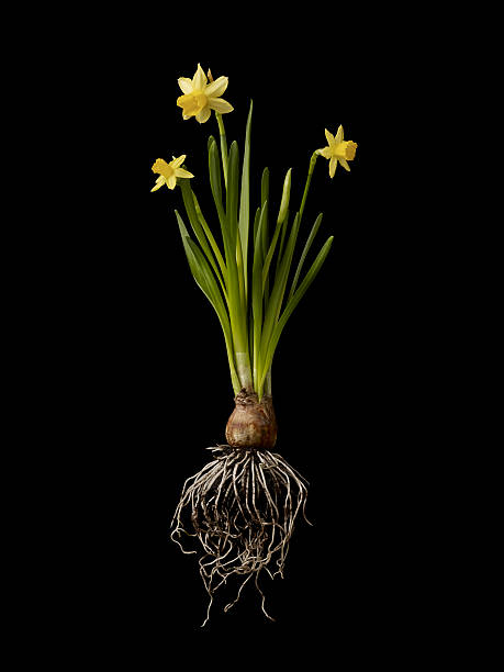 Daffodil Plant On Black Background, Showing Roots Wall Art