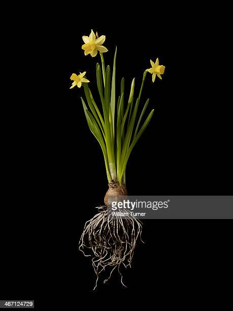 daffodil plant on black background, showing roots - daffodils stock photos and pictures