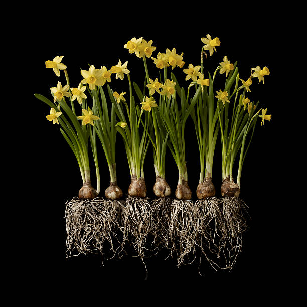 Daffodil Plants On Black Background, Showing Roots Wall Art