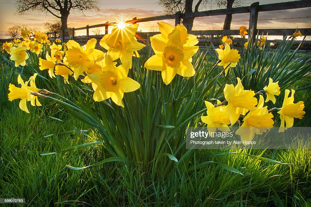 Daffodil Sunset : Stock Photo