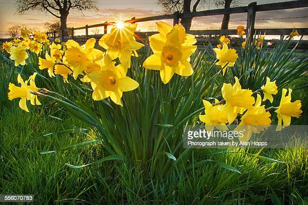daffodil sunset - daffodils stock photos and pictures