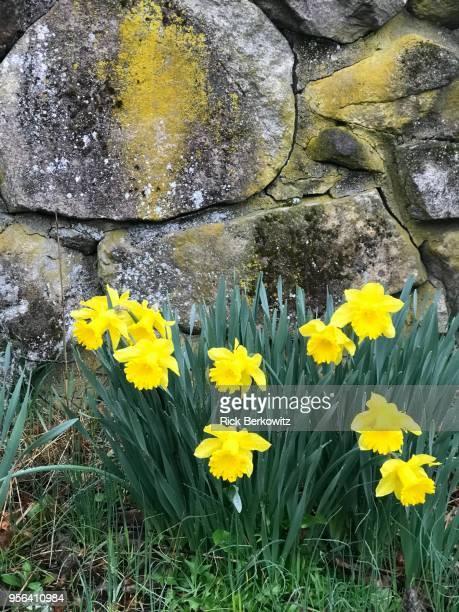 daffodil time - equinoccio de primavera fotografías e imágenes de stock