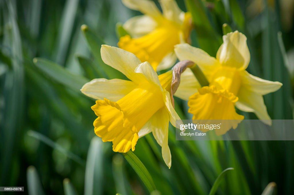 Daffodil trio : Stock Photo