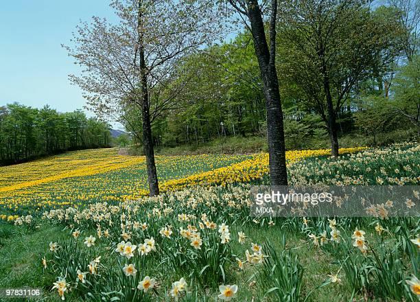 daffodil, zao, miyagi, japan - miyagi prefecture stock pictures, royalty-free photos & images