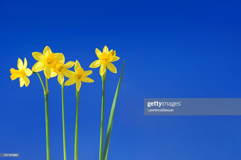 daffodils against the sky : Stock Photo