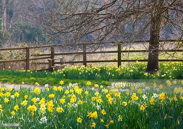 Daffodils alongside a footpath