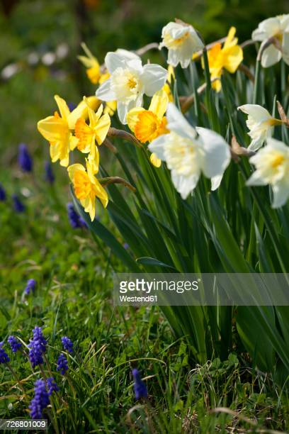 daffodils and grape hyacinths in a garden - daffodils stock photos and pictures