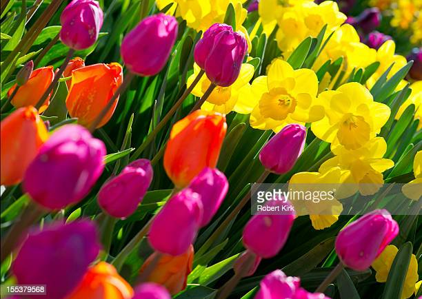 daffodils and tulips - tulips and daffodils stock pictures, royalty-free photos & images