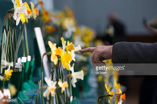 Daffodils are judged in the Early Daffodil Competition at the Royal Horticultural Society's 'Great London Plant Fair' in the RHS Lawrence and Lindley...