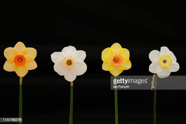 Daffodils are placed on display during staging day for the Harrogate Spring Flower Show held at the Great Yorkshire Showground on April 24 2019 in...