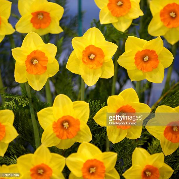 Daffodils are prepared for display on the eve of the opening day of the Harrogate Spring Flower Show at the Great Yorkshire Showground on April 19...