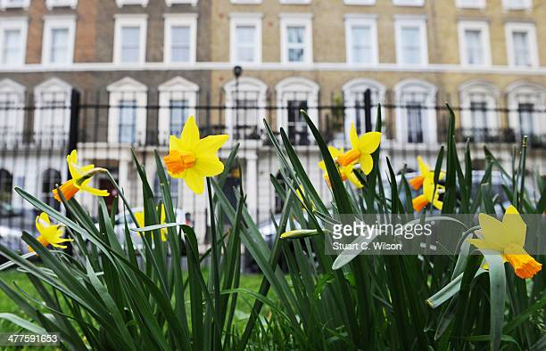 Daffodils are seen growing in Camden North London on March 10 2014 in London England After one of the wettest winters on record nature is showing the...