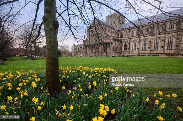 daffodils at winchester cathedral - winchester hampshire stock photos and pictures