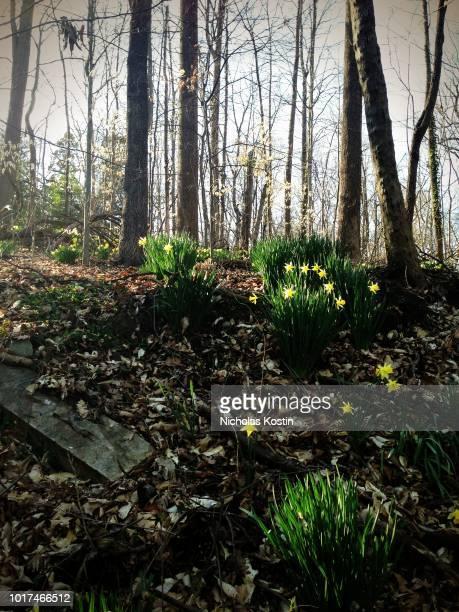 Daffodils Awaken During Spring