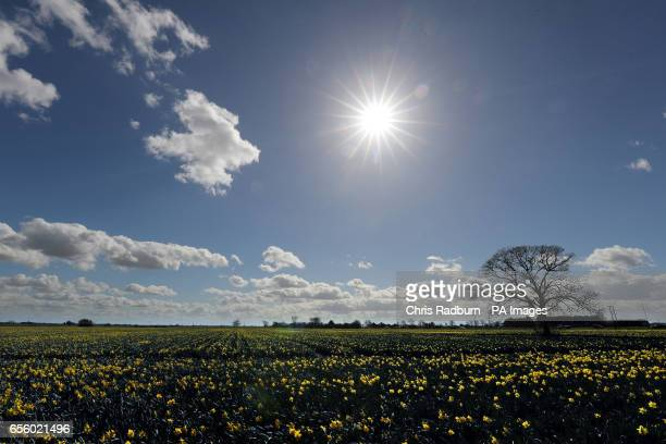 Daffodils bloom in a field at Fosdyke near Spalding in Lincolnshire