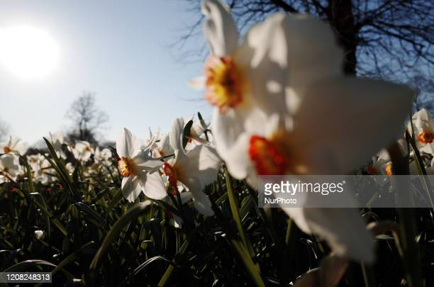 Daffodils bloom in Kensington Gardens in London England on March 25 2020 London has been experiencing consecutive days of sunny mild and springlike...