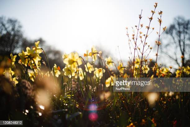 Daffodils bloom in late afternoon sunlight in the Rose Garden of Hyde Park in London, England, on March 25, 2020. London has been experiencing...
