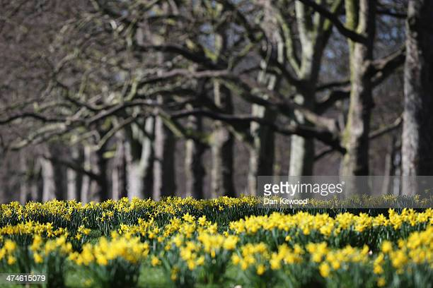 Daffodils bloom in St James's Park as the first signs of Spring begin to show across the United Kingdom on February 24 2014 in London England After...