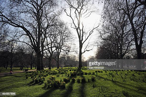 Daffodils bloom in St James's Park on March 2 2015 in London England Yesterday saw the meteorological start of Spring in the United Kingdom