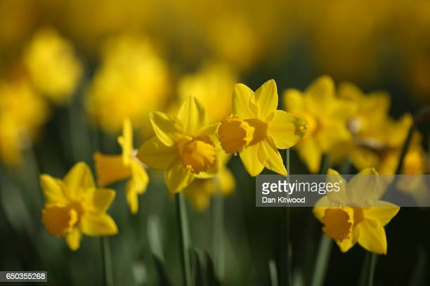 Daffodils bloom in St James's Park on March 9 2017 in London England Seasonable weather has returned to the capital today