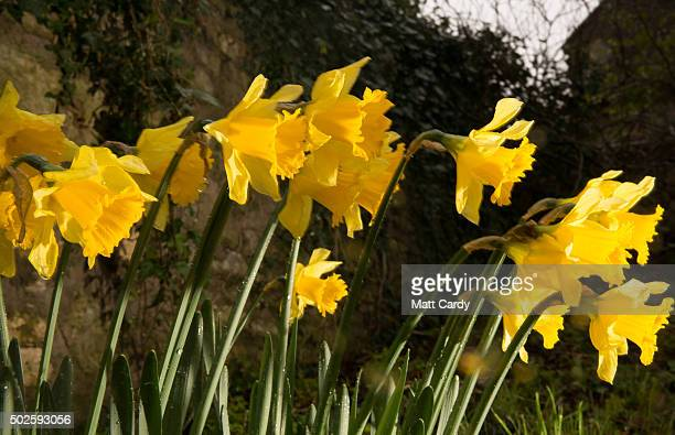 Daffodils bloom in the garden of a house in the village of Priston on December 27 2015 near Bath England As areas of the North of England suffer from...