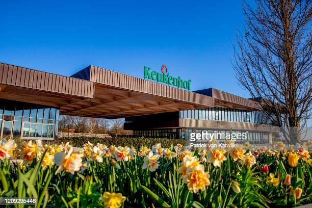 Daffodils bloom in the Keukenhof flower garden which is closed because of the Corona Crisis on April 06 2020 in Lisse Netherlands The Coronavirus...