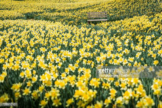 daffodils blooming in field - daffodil stock pictures, royalty-free photos & images