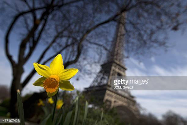 Daffodils blossom not far from the Eiffel Tower in Paris on March 7 2014 Despite floods in its northeastern regions France has enjoyed an unusually...