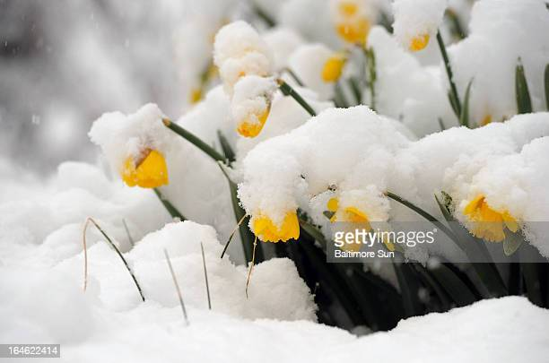 Daffodils bow in the late March snow Monday March 25 in Towson Maryland