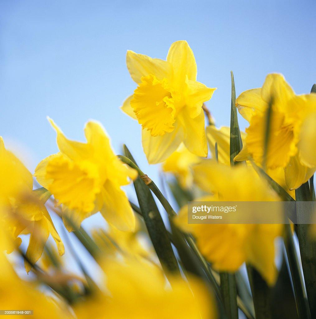 Daffodils, close-up : Stock Photo