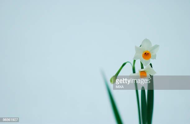daffodils, close-up - wabi sabi - fotografias e filmes do acervo