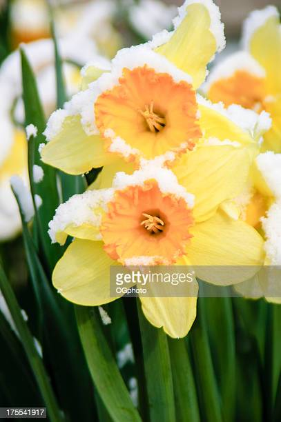 daffodils covered in snow by an early spring snowfall - daffodils stock photos and pictures