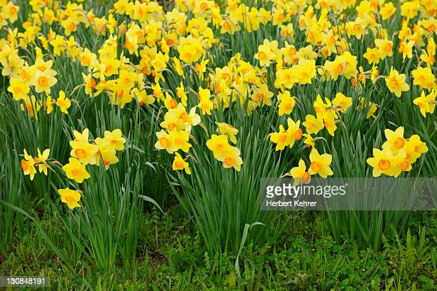 daffodils, daffodils (narcissus) - field of daffodils stock pictures, royalty-free photos & images