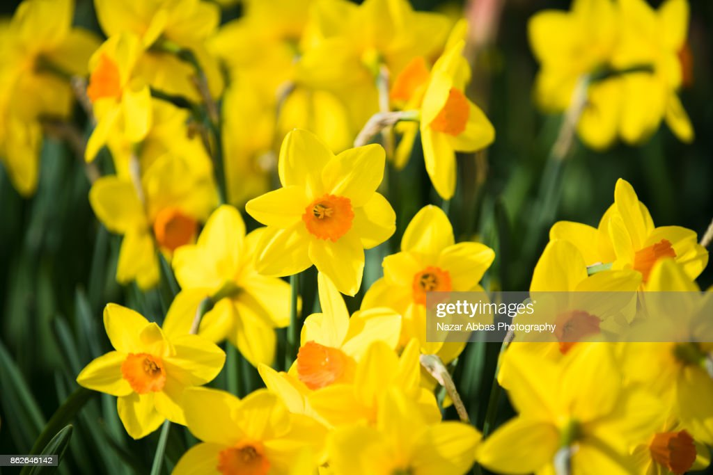 Daffodils during spring in Queenstown, New Zealand. : Stock Photo