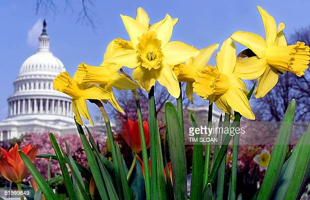 Us capitol spring break flowers stock photos and pictures getty images daffodils grace the lawn as spring overtakes the us capitol and congress begins its twoweek easter mightylinksfo