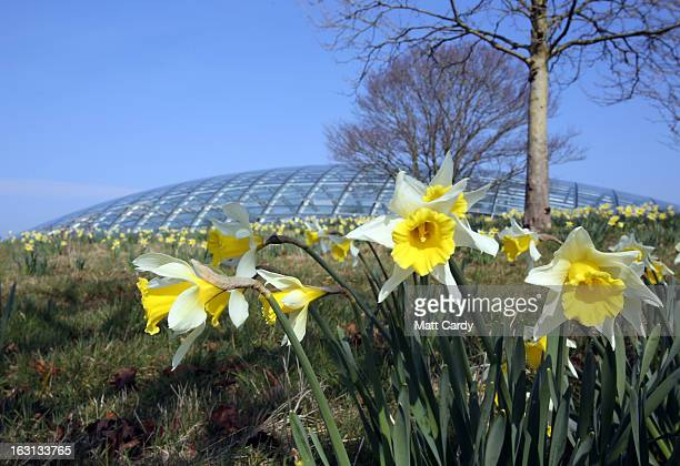 Daffodils grow in front of the Norman Foster designed Great Glasshouse at the National Botanic Garden of Wales on March 5 2013 near Carmarthen Wales...