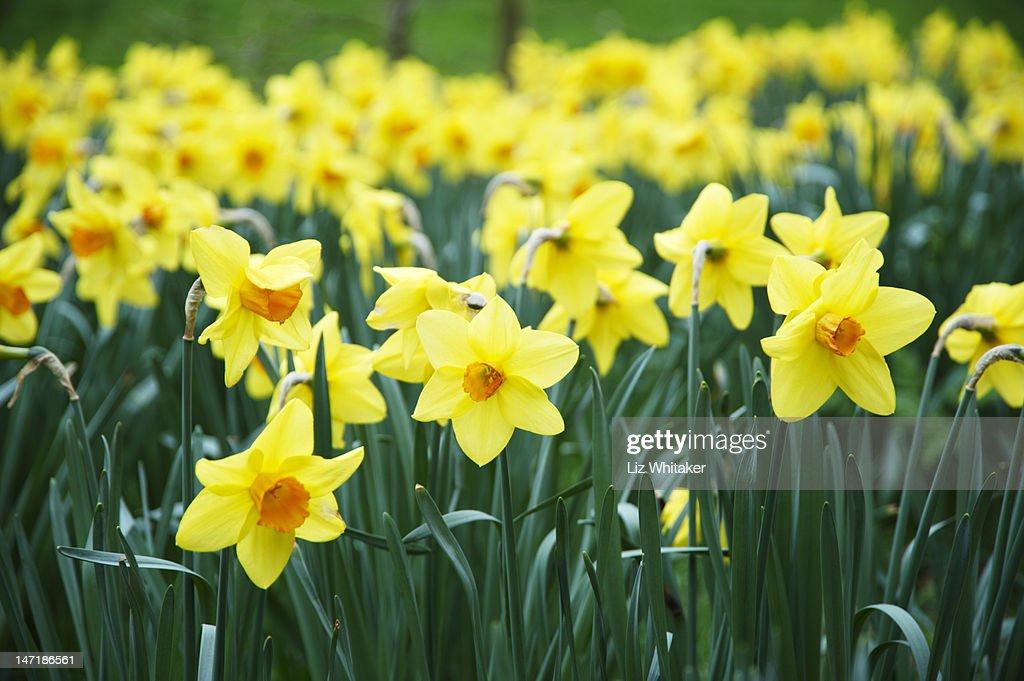 Daffodils in a London park in spring : Bildbanksbilder