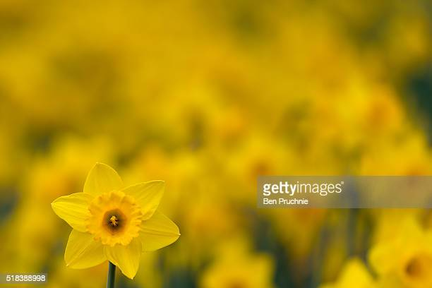 Daffodils in bloom in St James' Park on March 31 2016 in London England Great Britain is enjoying spring like weather after Storm Katie hit Britain...