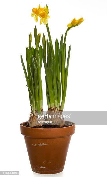 daffodils in clay pot on white - daffodils stock photos and pictures