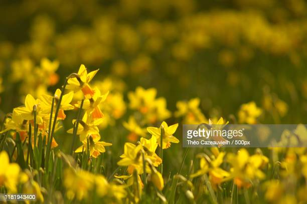daffodils in field - field of daffodils stock pictures, royalty-free photos & images