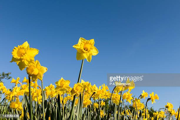 Daffodils in flower against a blue sky