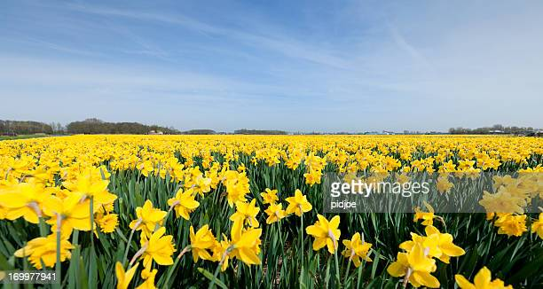 daffodils in flower field