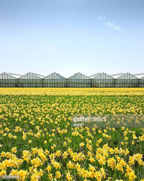 daffodils in flower field - field of daffodils stock pictures, royalty-free photos & images