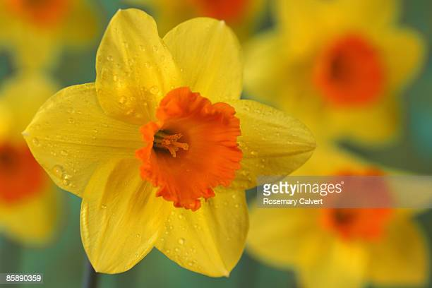 daffodils in garden, one close up. - daffodils stock pictures, royalty-free photos & images