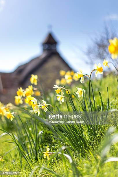 daffodils in springtime at st agnes church, freshw - s0ulsurfing stockfoto's en -beelden