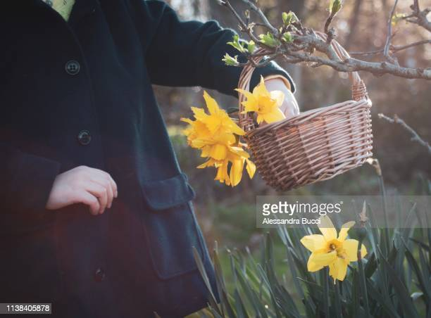 daffodils in the basket - easter religious stock pictures, royalty-free photos & images