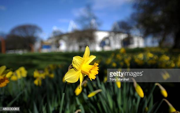 Daffodils in the sunshine outside of the KC Stadium before the Barclays Premier League match between Hull City and West Bromwich Albion at KC Stadium...