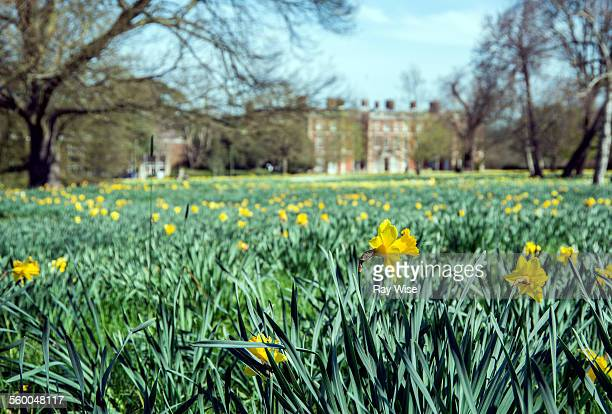 daffodils in trent park - enfield london stock pictures, royalty-free photos & images